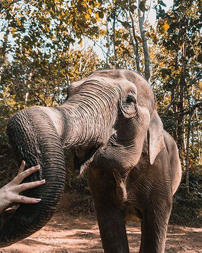 Elephant at Elephant Nature Park in Chiang Mai